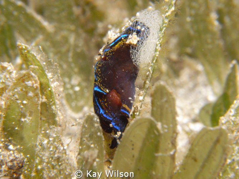 Leech Head Sheild Slug and eggs. Sea and Sea DX1G / YS110... by Kay Wilson