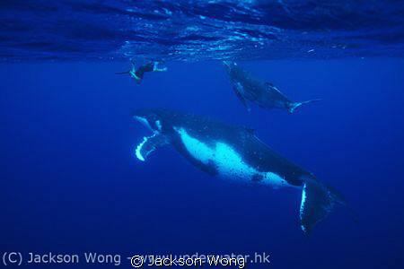 Philip, Calf and Mother Humpback whale by Jackson Wong