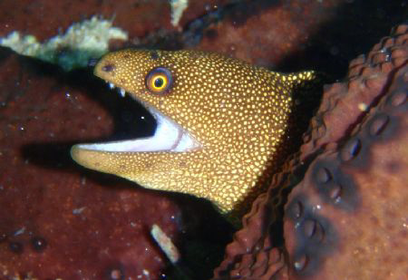 Golden eye moray by Durand Gerald