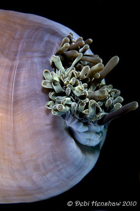 Anemone by Debi Henshaw