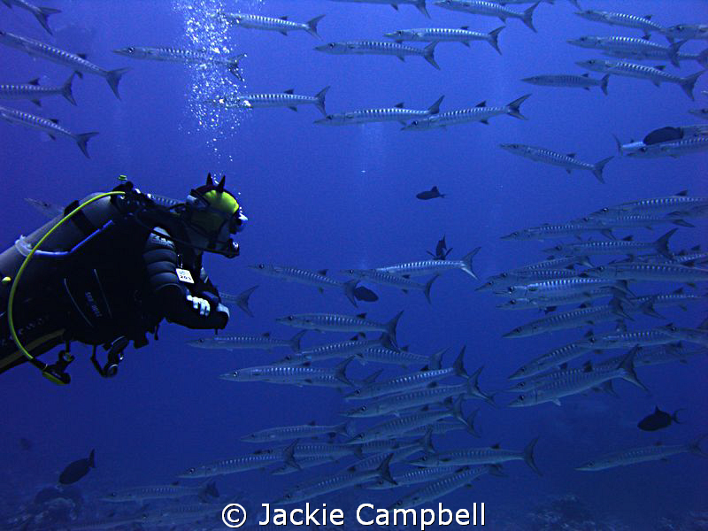 My buddy swimming with a near constant stream of barracud... by Jackie Campbell