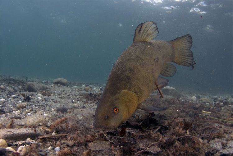 Tench looking for food by Sven Tramaux