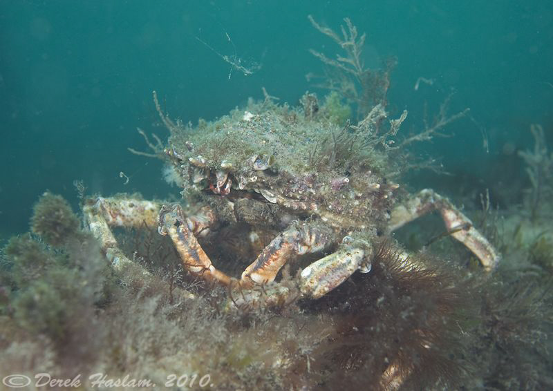 Spiny spider crab. D3, 16mm. by Derek Haslam