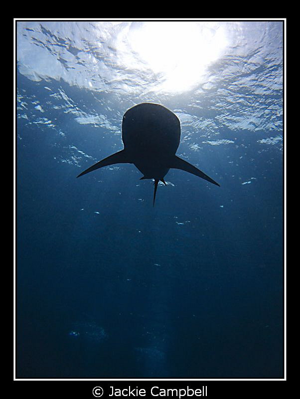Silky shark silouette. Canon ixus 100, fisheye lens and ... by Jackie Campbell