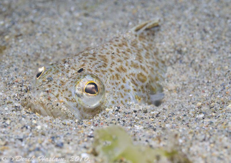Lesser weever fish. Criccieth beach. D3, 105mm. by Derek Haslam