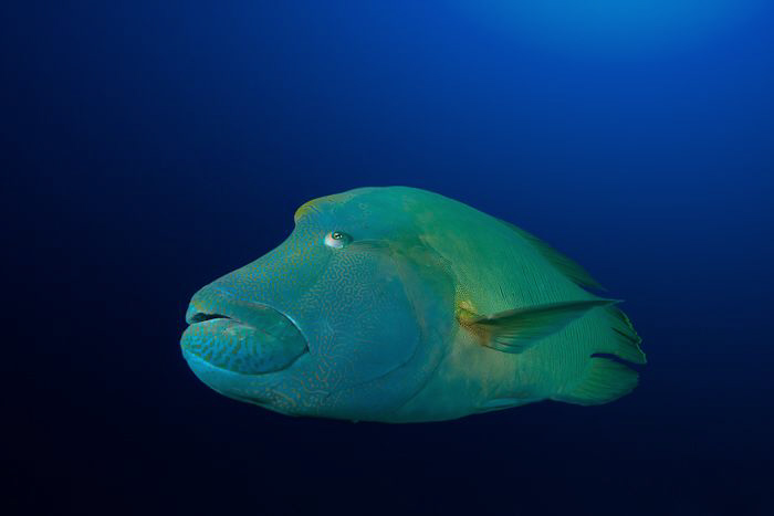 Napoleon Wrasse, cut out in photoshop to clean the backgr... by Jon Kreider