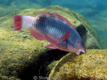 "A Parot fish ""Uhu"" sampling the algee in Sharks Cove. Yum... by Stuart Ganz"