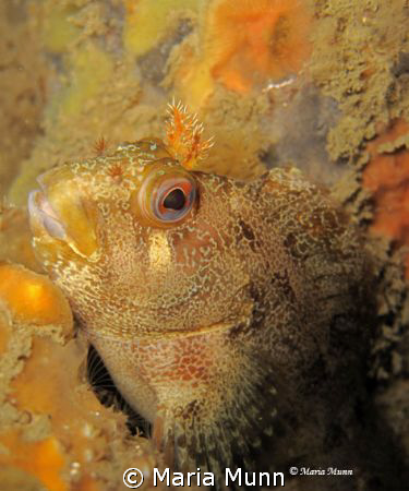 Tompot Blenny from Swanage Pier, UK.  Finally getting tim... by Maria Munn
