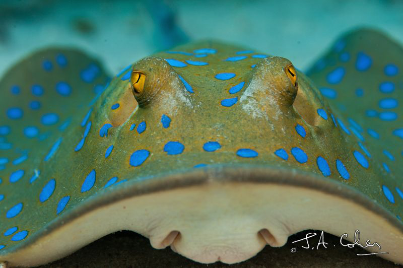 Blue Spotted Stingray by Julian Cohen