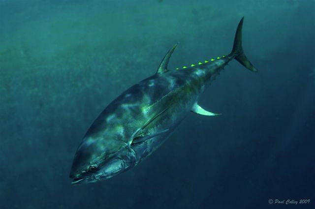 Bluefin Tuna by Paul Colley