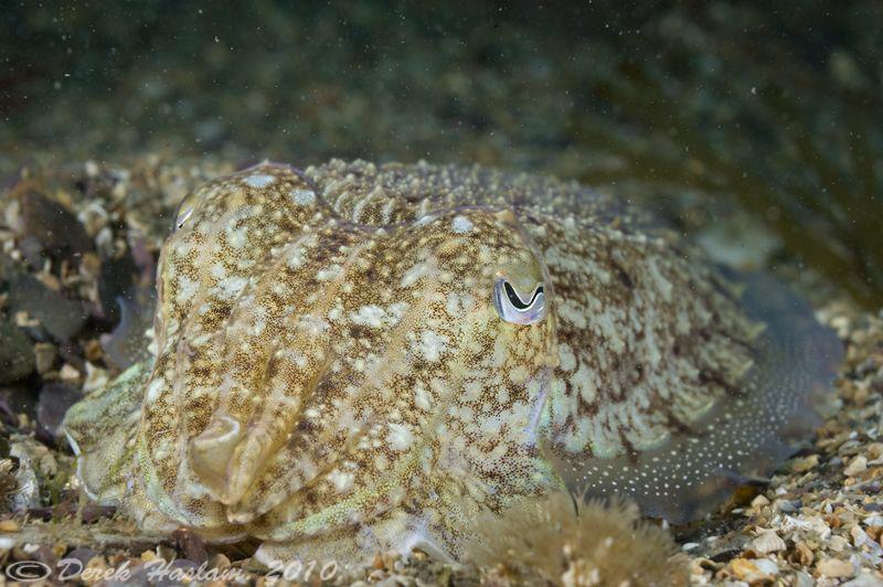 Cuttlefish. Plymouth. D3, 60mm. by Derek Haslam