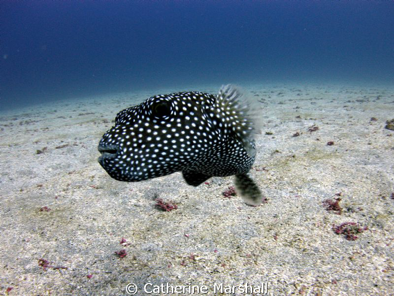 Curious pufferfish! I wonder if it could see its reflecti... by Catherine Marshall