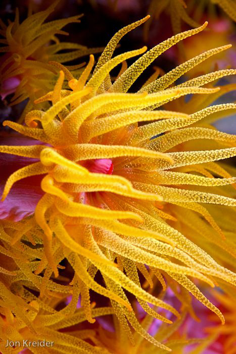 Yellow soft coral bloom at night by Jon Kreider