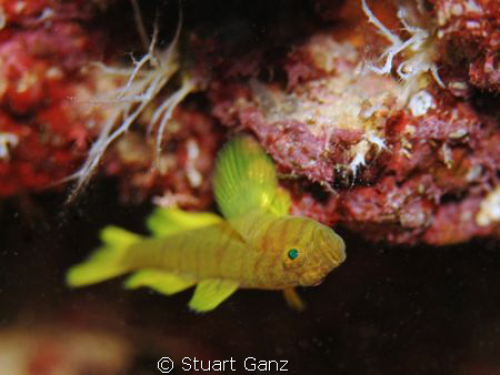 Golden Green Goby by Stuart Ganz