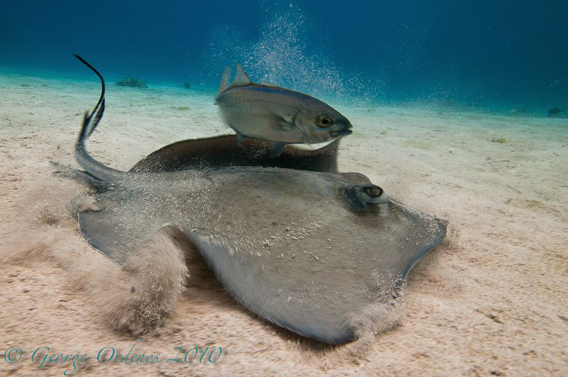 Sting ray and jack shot with a magic filter. D300 11-16m... by George Ordenes