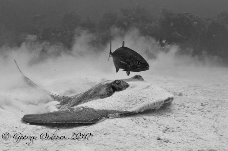 Stingray and jack by George Ordenes
