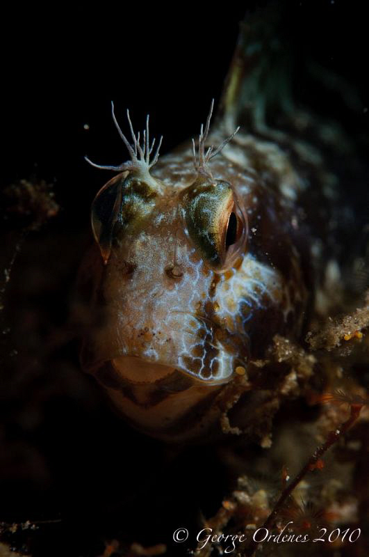 Blenny shot at night with snoot at BHB D300 105mm single... by George Ordenes