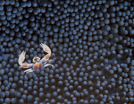 Porcelain Crab in Anemone, Beqa Lagoon, Fiji (Nikon F4, A... by Andrew Dawson