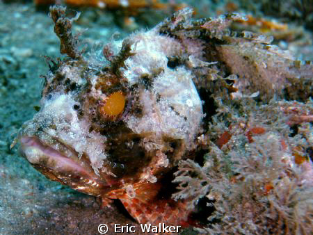 Scorpion Fish by Eric Walker