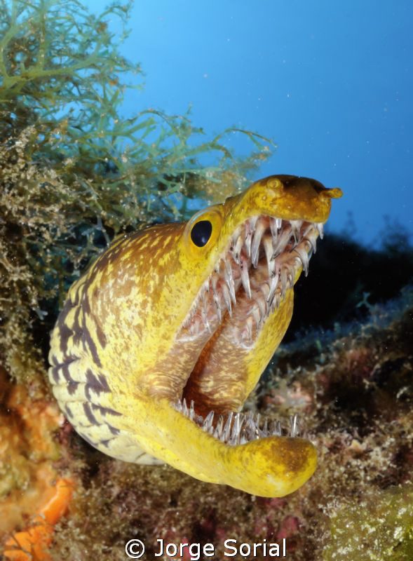 Fangtooth moray eel. Very menacing, but harmless. by Jorge Sorial