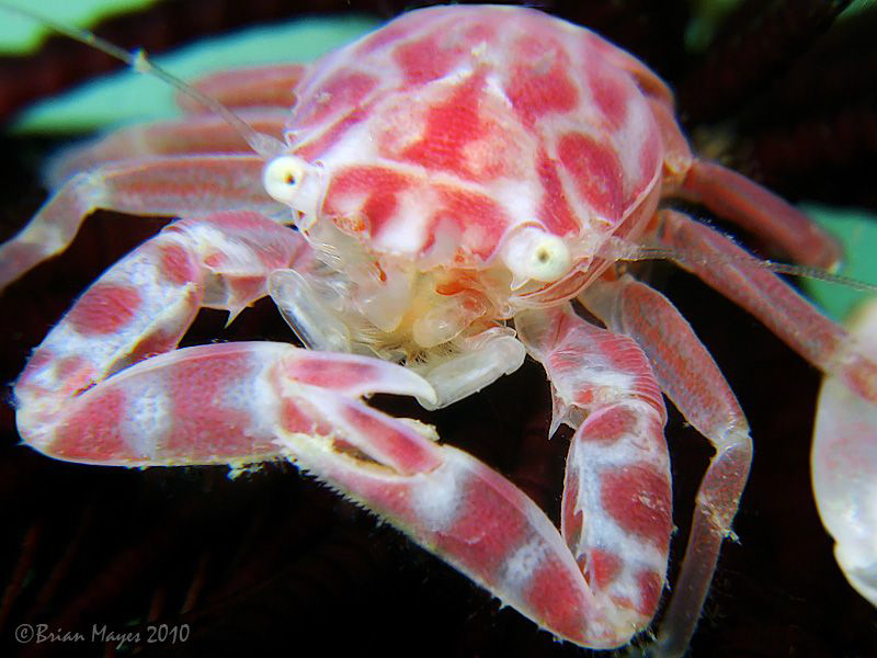 Porcelain Crab (Porcellanella sp.) on the underside base ... by Brian Mayes