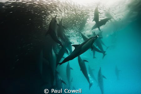 Amazing dolphin pod action in this years sardine run. by Paul Cowell