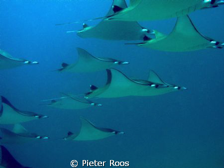 Mobula's by Pieter Roos