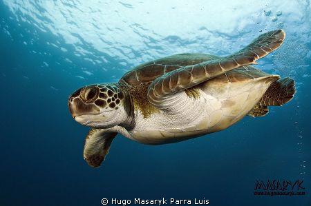 Green Turtle in Puertito de Adeje, Tenerife by Hugo Masaryk Parra Luis