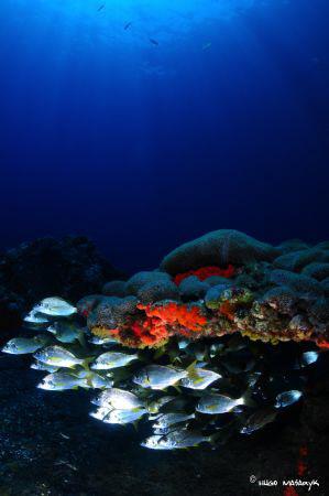 Palitoa Canarian Palythoa caribearoum, encrusting coral t... by Hugo Masaryk Parra Luis