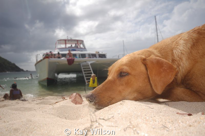 An island dog takes a sandy siesta on Mayreau, Tobago Cays. by Kay Wilson