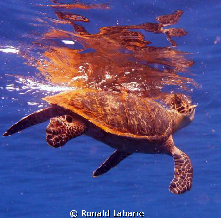 This is a Hawksbill turtle on the reef in West Bay, Roata... by Ronald Labarre