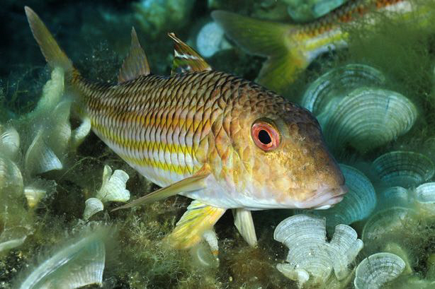 A small unidentified Goatfish or Mullet seen on a dive of... by Paul Colley