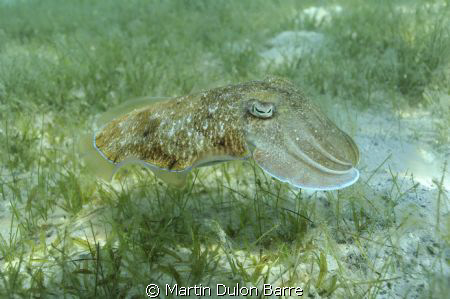 Cuttle fish. Nikon D700 17-35mm at 35mm Subal housing. f8... by Martin Dulon Barre