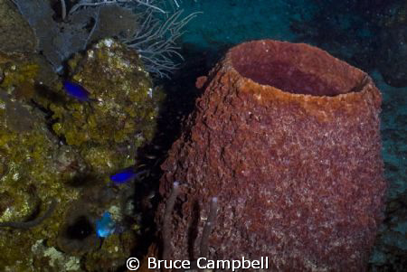 Barrel Sponge with Blue Chromis by Bruce Campbell