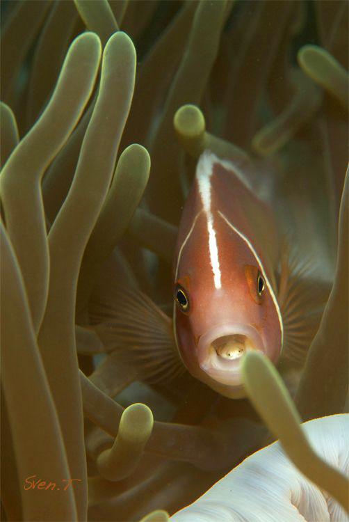 Pink anemonefish and it's isopod by Sven Tramaux