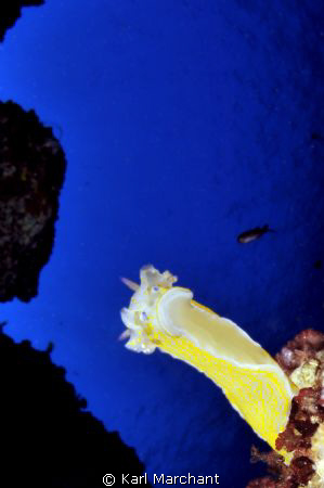 Hypselodoris Picta, Hangin Out!