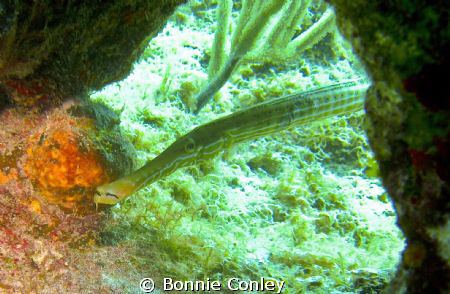 Trumpetfish seen in Grand Cayman August 2010.  Photo take... by Bonnie Conley