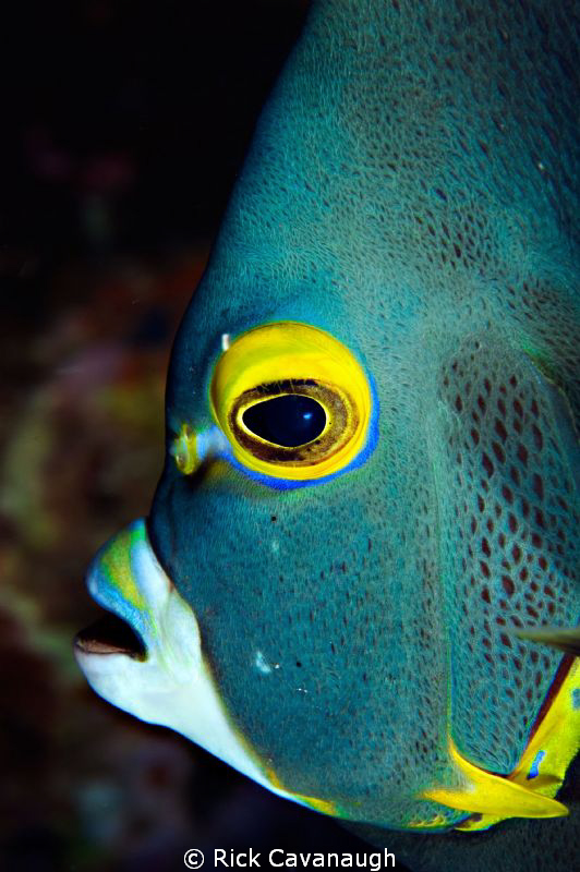 Its not often you get an angelfish to pose by Rick Cavanaugh