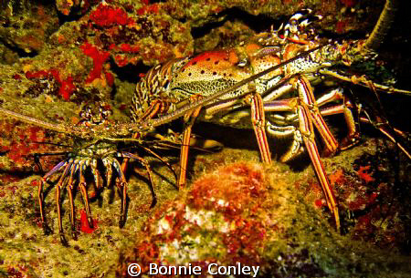 Lobsters seen in Grand Cayman August 2010.  Photo taken w... by Bonnie Conley