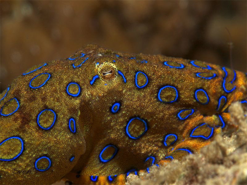 Blue ring octopus, beautiful little creature.. by Sven Tramaux