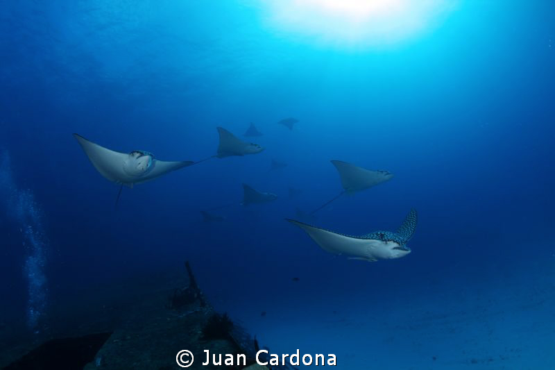 wreck Anaya & Eagle Rays by Juan Cardona