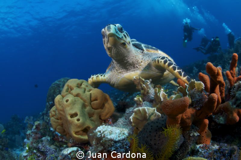 sea turtle & divers by Juan Cardona