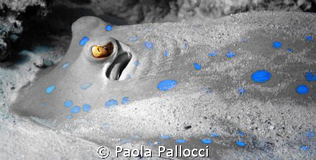 bluespotted stingray by Paola Pallocci