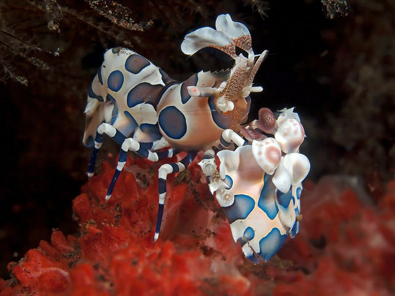 Harlequin Shrimp. Tulamben, Bali by Doug Anderson