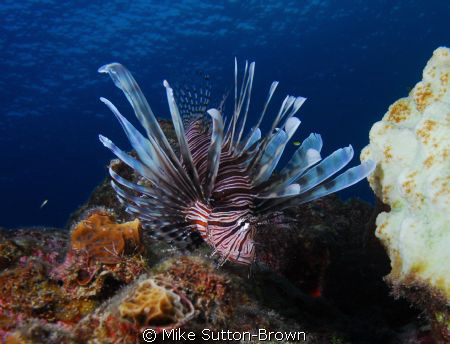 Lionfish by Mike Sutton-Brown