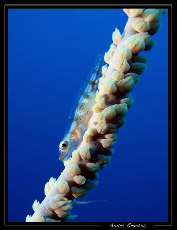 Gobie nain sur un corail fil de fer by André Bruchez