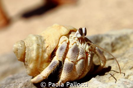 hermit crab by Paola Pallocci