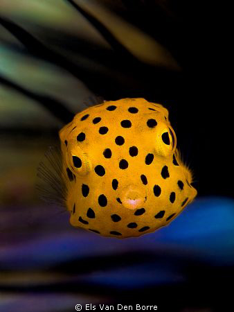 Yellow baby boxfish by Els Van Den Borre 