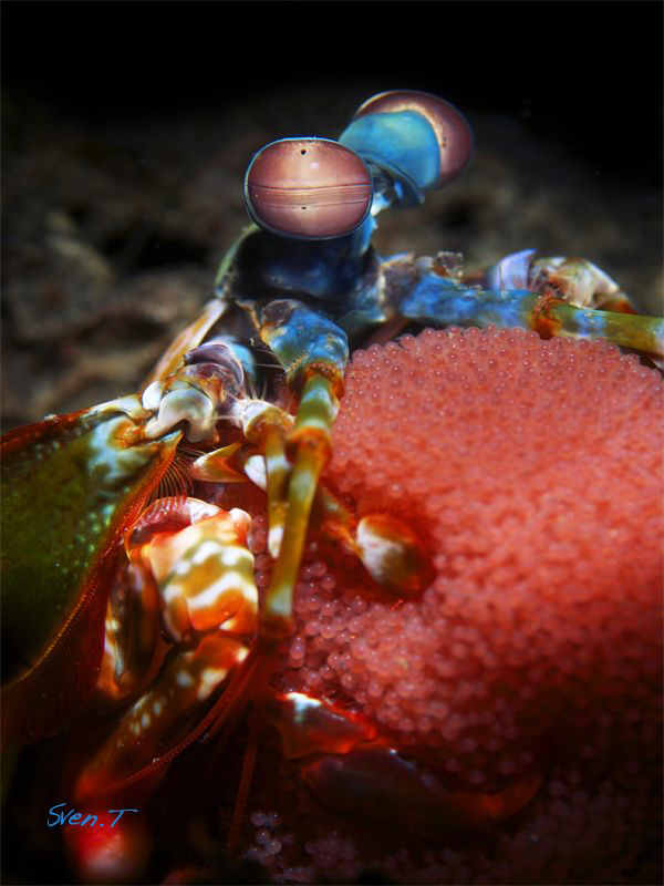 Mantis shrimp with eggs by Sven Tramaux
