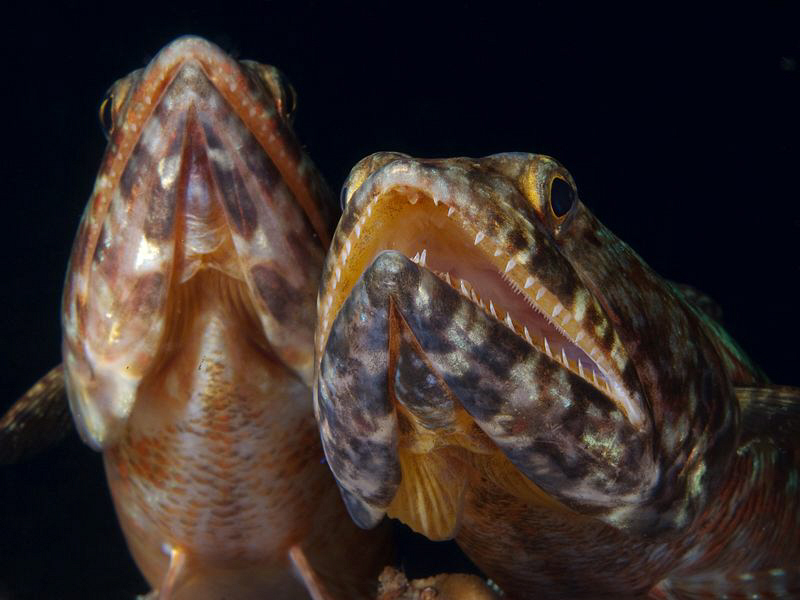 Lizardfish, Tulamben by Doug Anderson